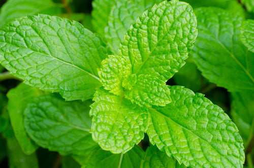 Peppermint found in our Relieve pain cream, Relieve pain gel, Relieve pain spray and Relieve essential oil roller.  Peppermint contains menthol which relieves arthritis pain.