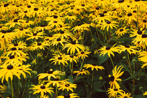 Arnica anti-inflammatory plant found in our Relieve pain gel.  Use this natural pain relief topical product to sooth sore muscles, aches and strains