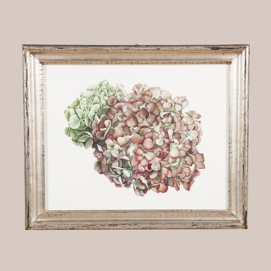 Hydrangea, a study in watercolour over pencil on vellum by Brigid Edwards, 2015.
