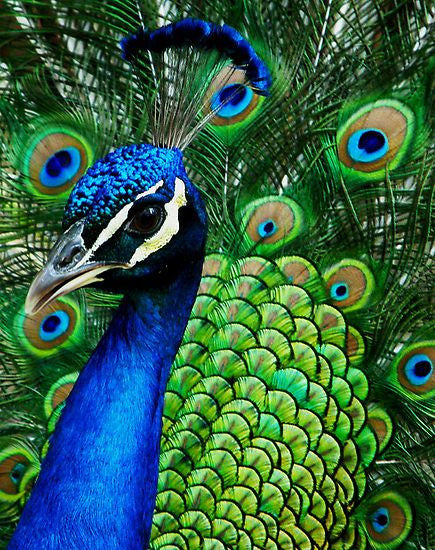 Move over unicorns, peacocks are having a moment.