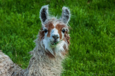 Alpaca and mohair products | Great Sleep
