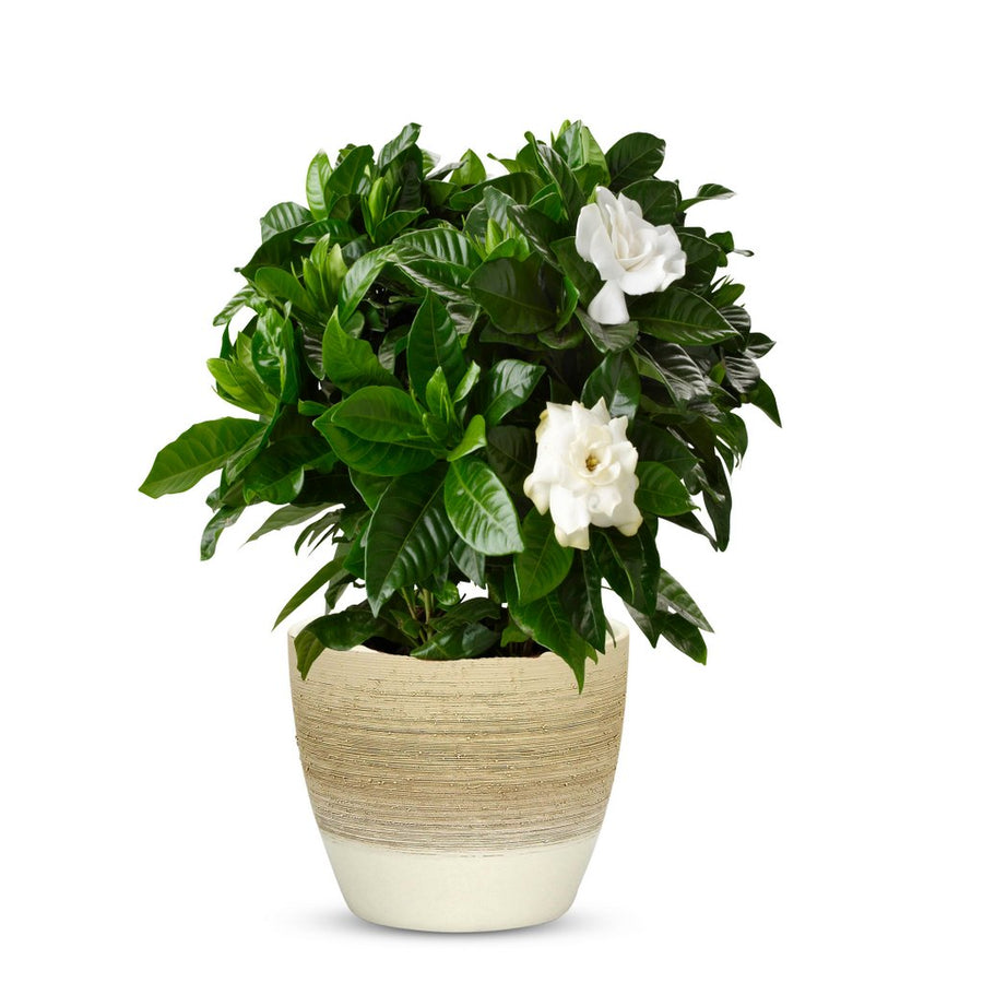 ELEGANTE: Graffito Rustico Vanilla Cream Ceramic Flower Pot Small