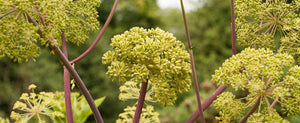 Angelica Just Might Be the Angel You Need in Your Garden