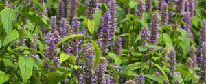 Anise Hyssop Herbs: General Information and Uses