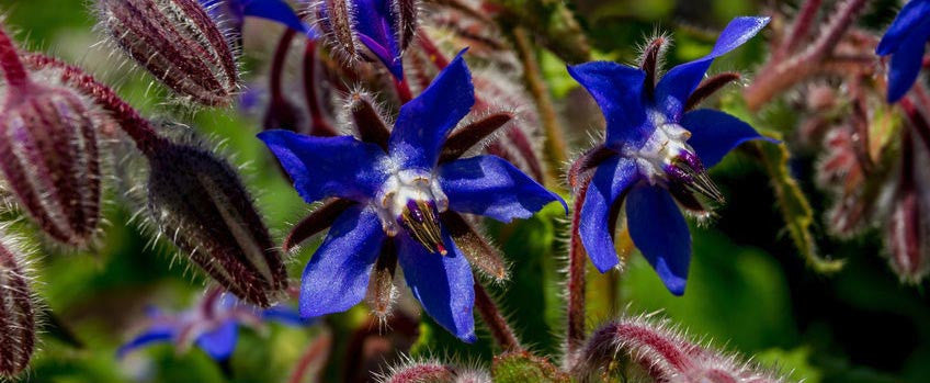 Borage: A Must Have, Multipurpose Herb for the Garden