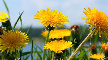 Dandelion Herb: The Benefits of This