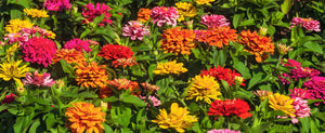 Growing Zinnia Flowers From Seed