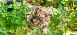 Catnip and the Catmint Family: Grow a Stash for You and Your Cat