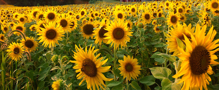 How To Grow Sunflowers Summers Favorite Flower