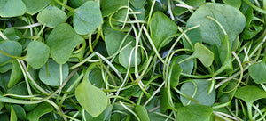 Growing Watercress Without a Waterfront View
