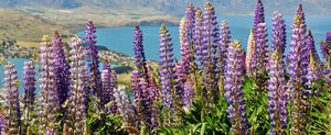Feed Your Soil and Your Soul with Lupines