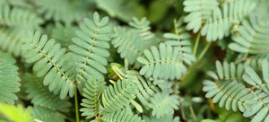 growing mimosa pudica from seeds