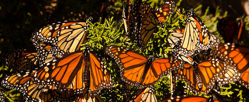 The Declining Monarch Population and Three Likely Causes