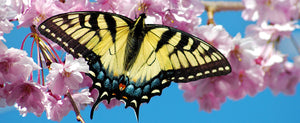 The Beauty that is The Swallowtail Butterfly
