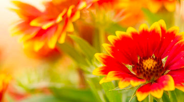 Fire on the Prairie: Growing Blanket Flower from Seed