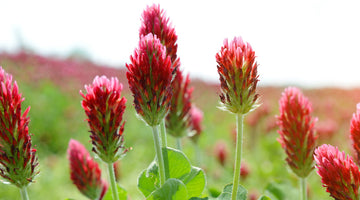 Essential Cover Crops for the Home Garden