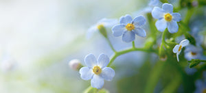 Growing forget-me-not from seed