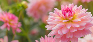 growing dahlias from seed