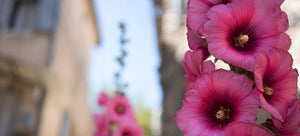 Here Today, Gone to Maui: Growing Hollyhocks for Cool Weather Tropical Charm
