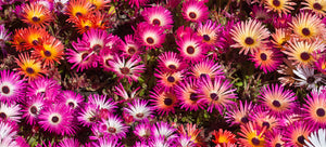 growing ice plant from seed
