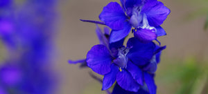 growing Larkspur from seed
