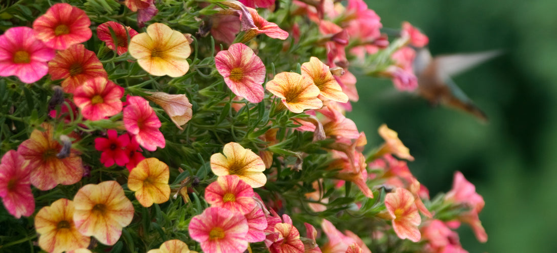 Painting Your Garden With Petunias Seed Needs Llc