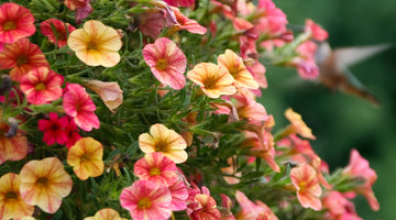 Painting Your Garden With Petunias