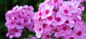 growing phlox from seed