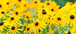 growing rudbeckia from seed