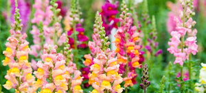 growing snapdragons from seed