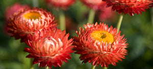 growing strawflower from seed