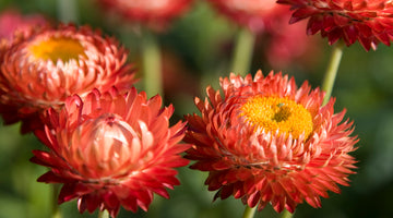 Everlasting Color: Growing Strawflower From Seed