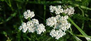 growing yarrow from seed