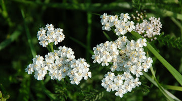 Yarrow: An All-Around Plant for the Lay-Around Gardener