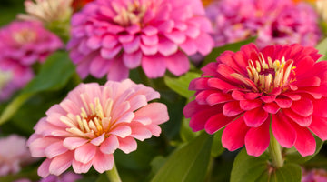 Zinnias: They're Not Outta Your League