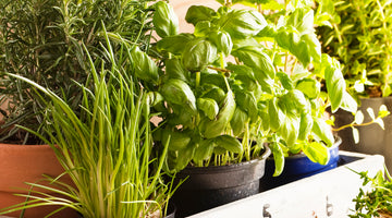 7 Easy Herbs for Beginners