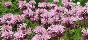 Growing bee balm from seed