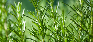 Growing rosemary from seed in the garden
