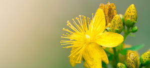 Growing St. John's Wort from seed