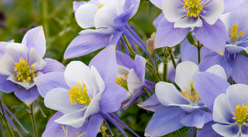 They Come From the Land of the Ice and Snow: Growing Columbine from Seed