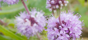 Le Petite Pennyroyal: Growing this Ornamental Herb from Seed