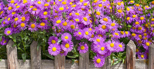 Growing asters from seed