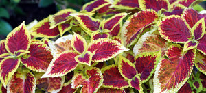 Growing coleus from seed