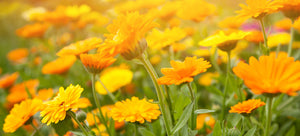 Growing calendula from seed