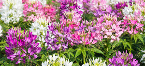 Growing Cleome from seed