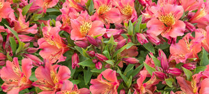 Growing Peruvian lilies from seed