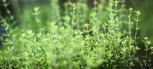 Growing thyme from seed