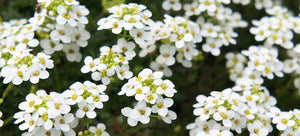 Growing alyssum from seed
