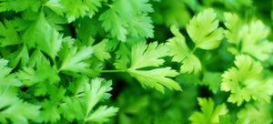 Growing parsley from seed in the garden