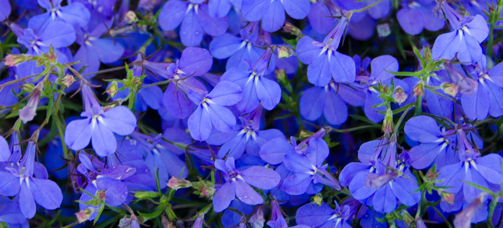Dont Get Ripped Off At The Store Start Growing Lobelia From Seed